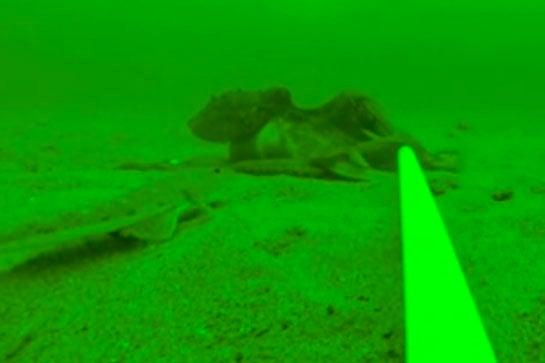 Video: Octopus vs. Banjo Ray