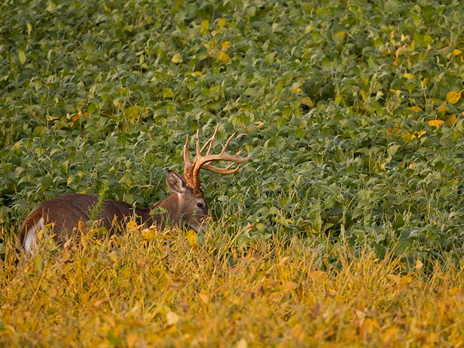 A large whitetail deer stalks through a field of tall food plants.