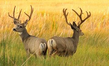 Colorado Cuts 50K Tags as Deer Population Declines