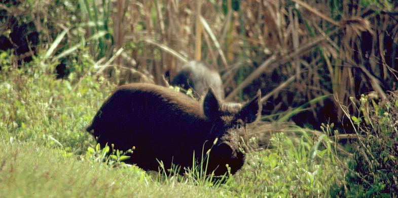 Louisiana Hunters Shoot More Hogs Than Deer for the First Time in State History