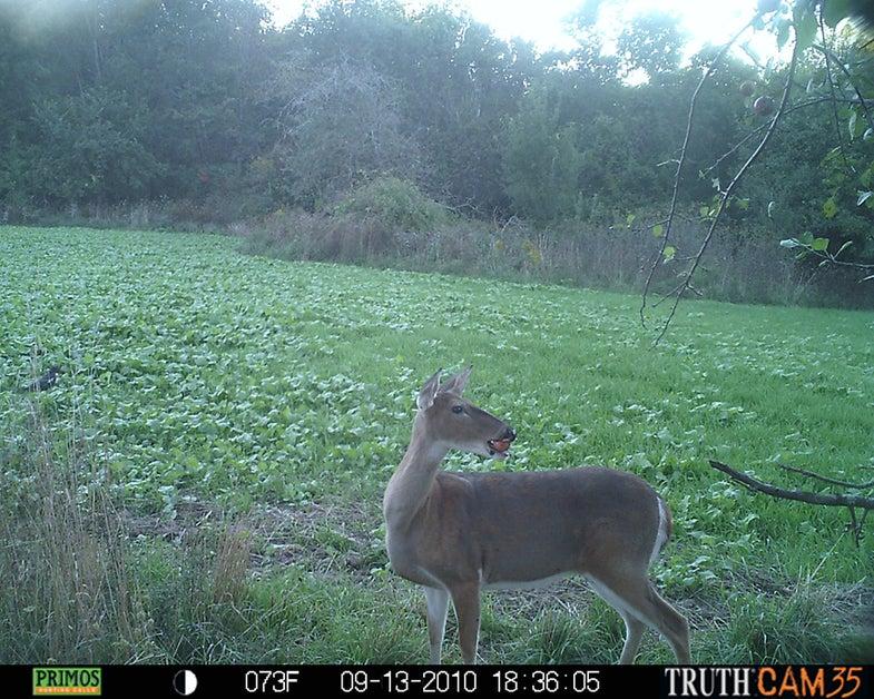 Hunting, Deer Hunting, Rut Report, Deer Foods, Whitetails, Scott Bestul