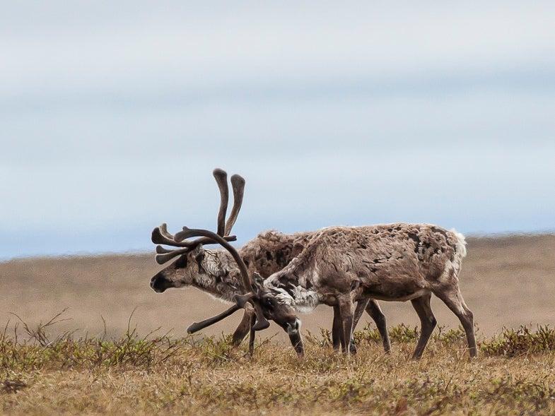 Two Alaska Caribou Herds Suffer Major Declines