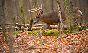 Whitetail Deer: Bump and Hunt Tactics for the Unkillable Buck