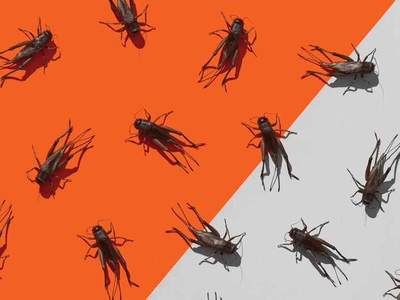 crickets backyard bait