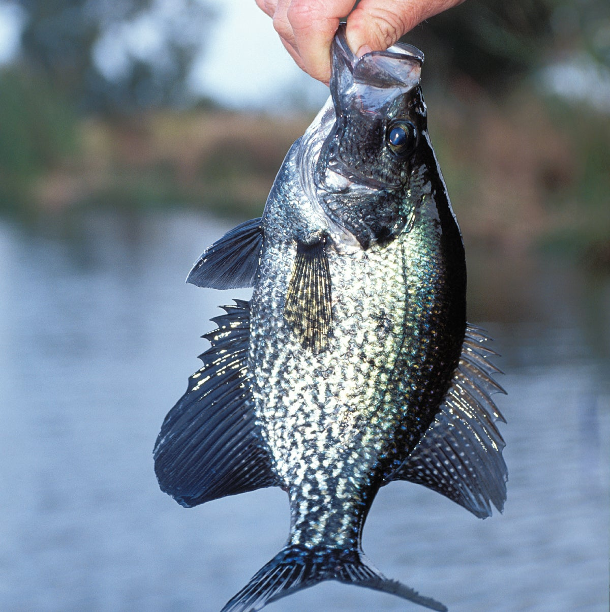 How to Sneak Attack Crappies and Catch a Limit