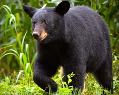 Florida Releases Plan to Expand Bear Hunting Season