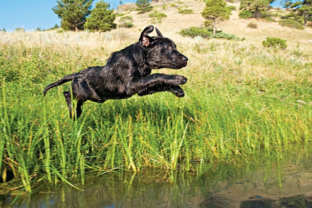Train Your Pup for Gun Shots, Real Birds, and Water