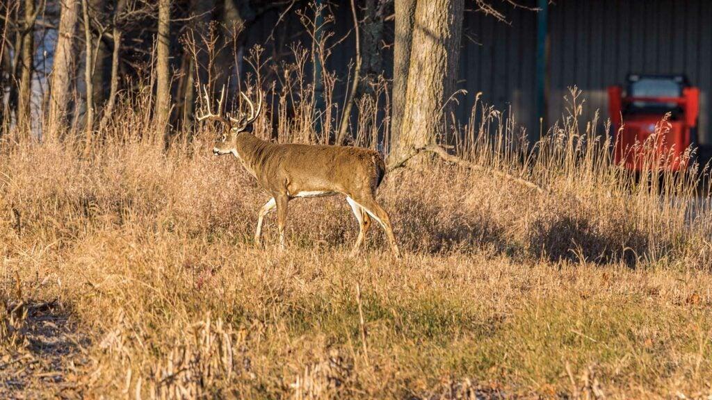 whitetail buck walking through fall field