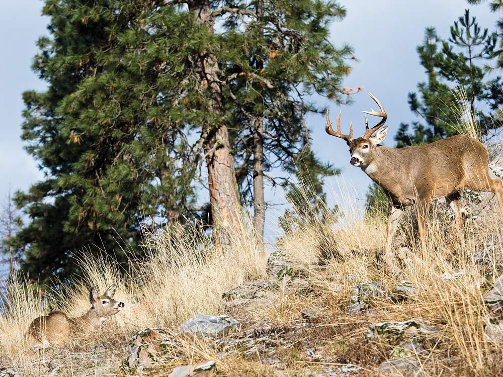 Buck and doe breeding pair on a hillside