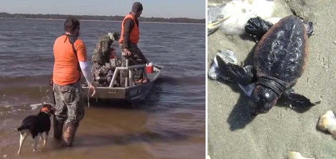 Hog Hunters Help Sea Turtles in South Carolina