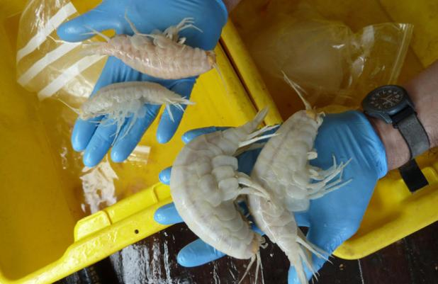 httpswww.fieldandstream.comsitesfieldandstream.comfilesimport2014importBlogPostembedsupergiant-amphipods-discovered-more-than-four-miles-7km-deep-in-waters-north-of-new-zealand-872140562.jpg