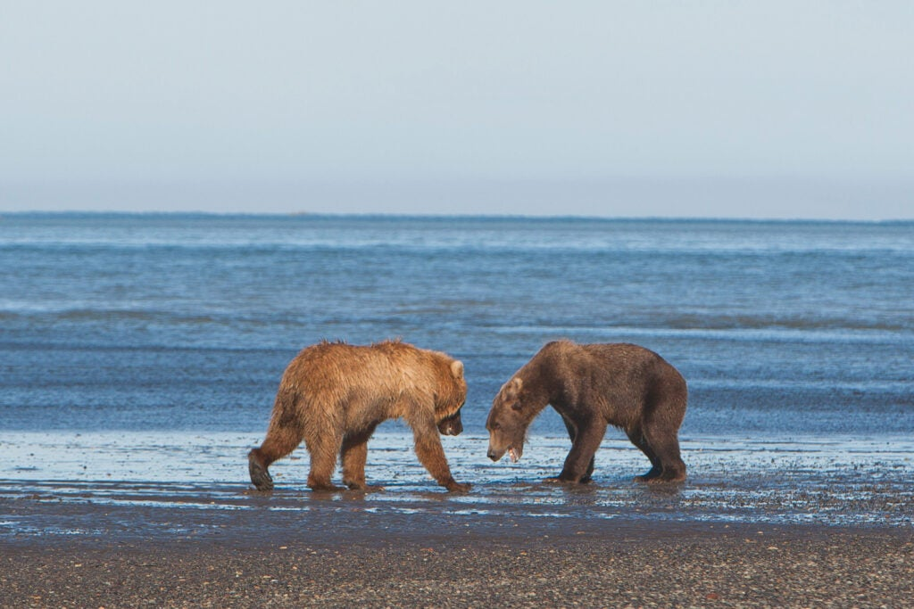httpswww.fieldandstream.comsitesfieldandstream.comfilesimport2014importImage2011photo38356BARM_BearWars_Alaska_EXCL_018_0.jpg