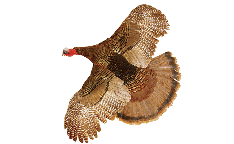 Six Tips to Get Your Turkey Ready for the Taxidermist