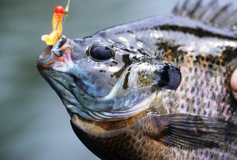 Spring Tactics for Big Bluegill from Field and Stream's John Merwin
