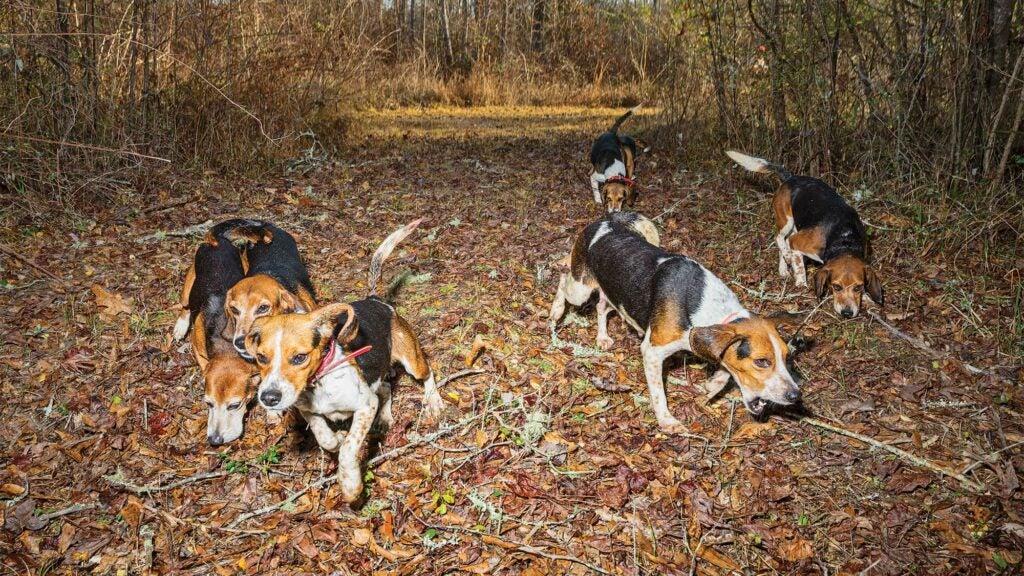 beagles running through woods