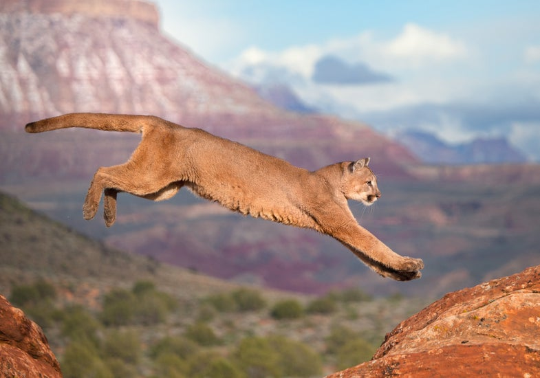 Saliva Test Confirms First Female Cougar in Missouri Since 1994