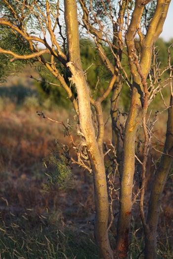 httpswww.fieldandstream.comsitesfieldandstream.comfilesimport2014importBlogPostembed2012_September_deer_rubs_on_mesquite_trees_007.jpg