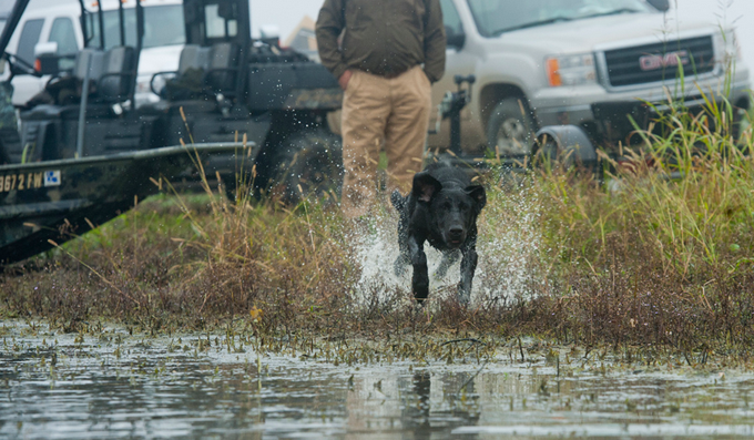 Retriever Training: Sure-Fire Scent Trailing