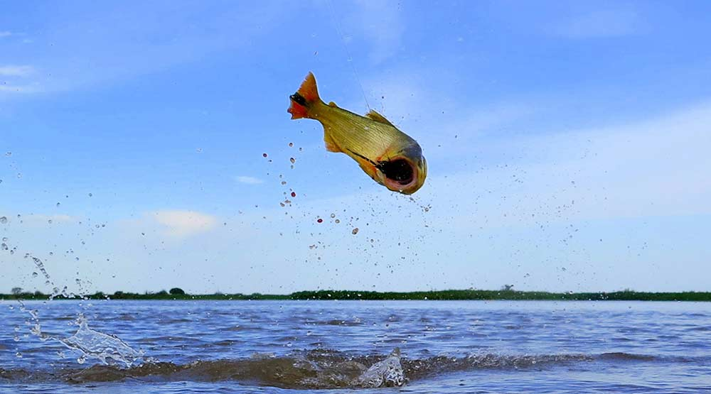 a golden dorado jumping out of the waters of the parana river