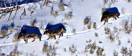 Wolf Activists with Video Cameras Follow Hunters into the Montana Wilderness