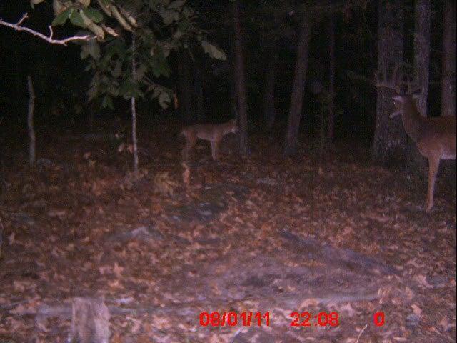 Coyotes Take Down Big Velvet 10-Pointer