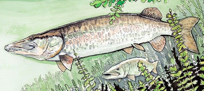 muskie, flyfishing, fly
