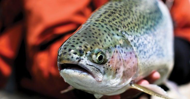 rainbow trout road trip, Oregon fishing road trip, Oregon trout road trip, rainbow trout, redband trout, steelhead