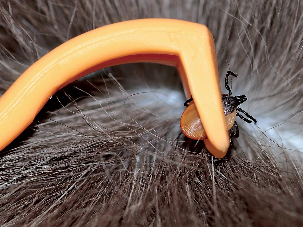 Picking a tick from hair