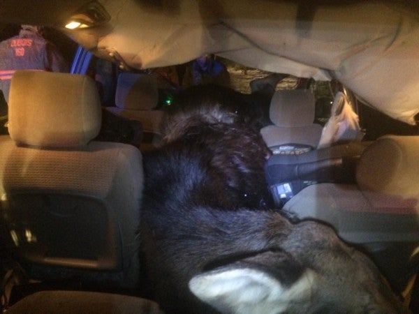 Moose Goes Through Minivan Windshield and Motorist Survives
