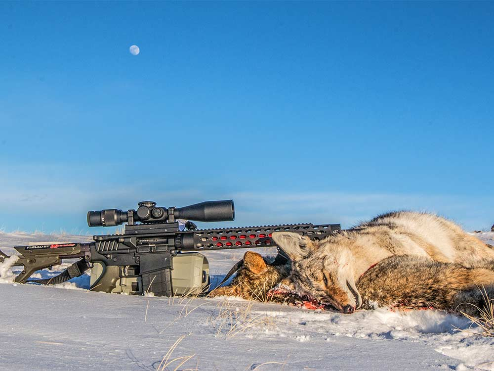 coyote hunting in snow