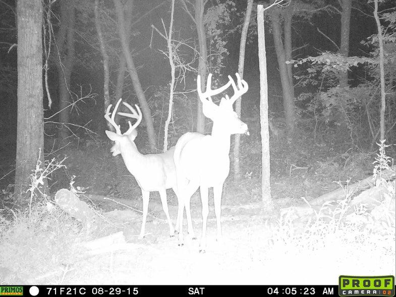 Nocturnal bucks