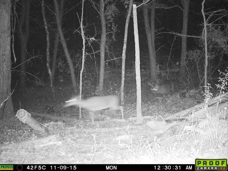 mature buck chasing doe