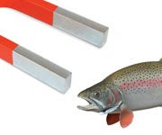 Scientists Isolate Magnetic Cells in Trout