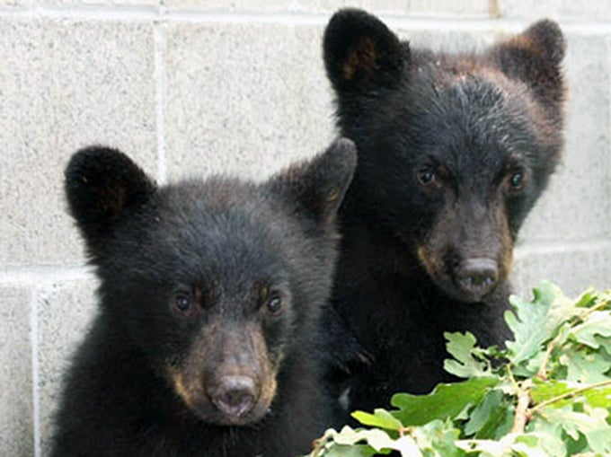 Canadian Conservation Officer Suspended for Refusing to Kill Orphaned Bear Cubs