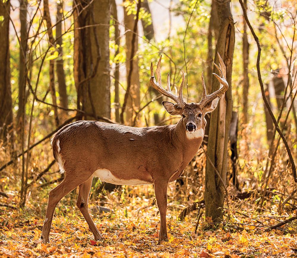 200-inch buck