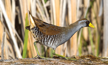 Why Duck Hunters Shouldn't Forget About Sora Rails