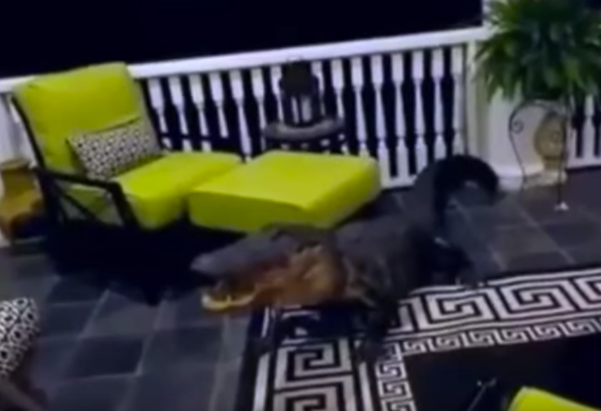 Video: 10-Foot Gator Climbs Onto Family's Second-Story Porch