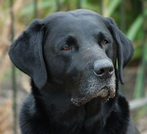 How to Get the Most Out of Your Veteran Gun Dog