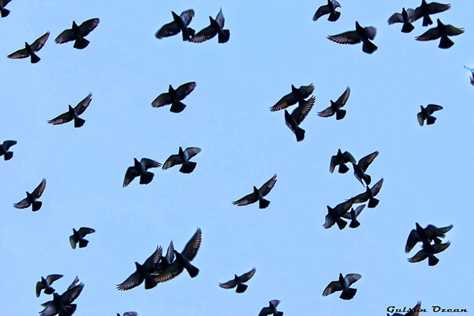 Pigeon Hunting: 5 High-Tech Tactics for More Birds