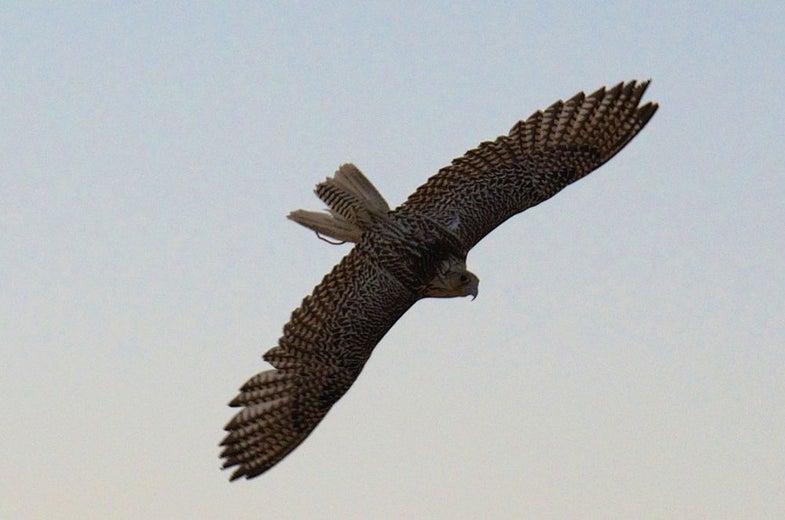 falcon, airport, birds