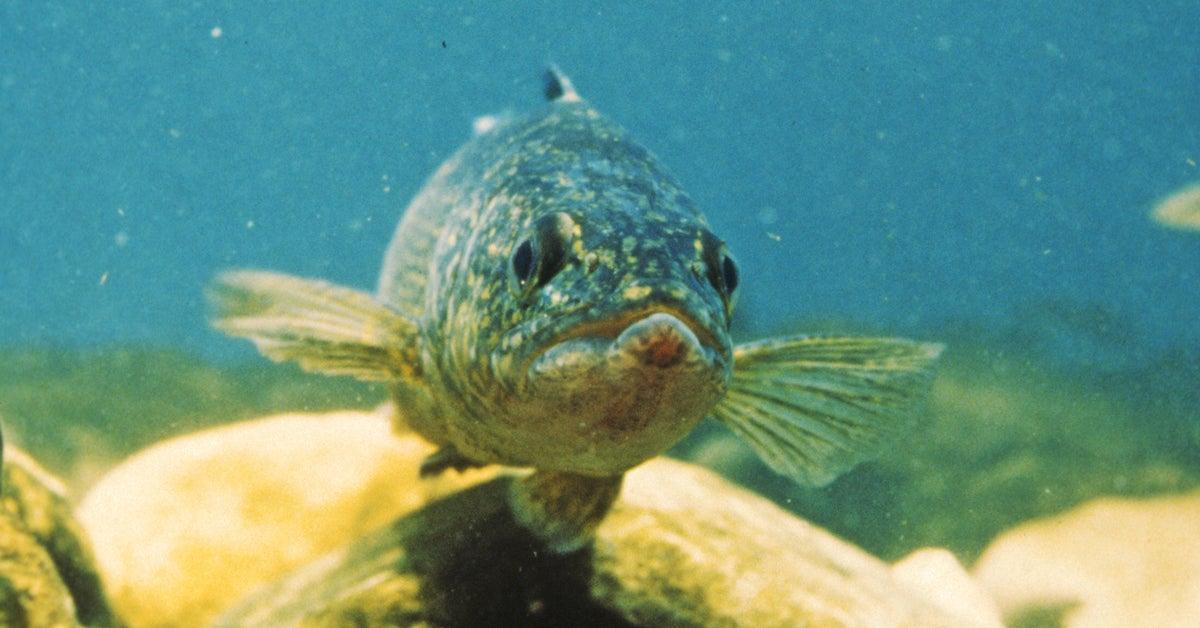 Popular Minnesota Fishery Shuts Down Walleye Season
