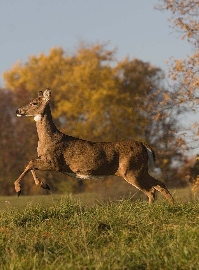 Bag More Big Bucks By Finding the Dominant Doe