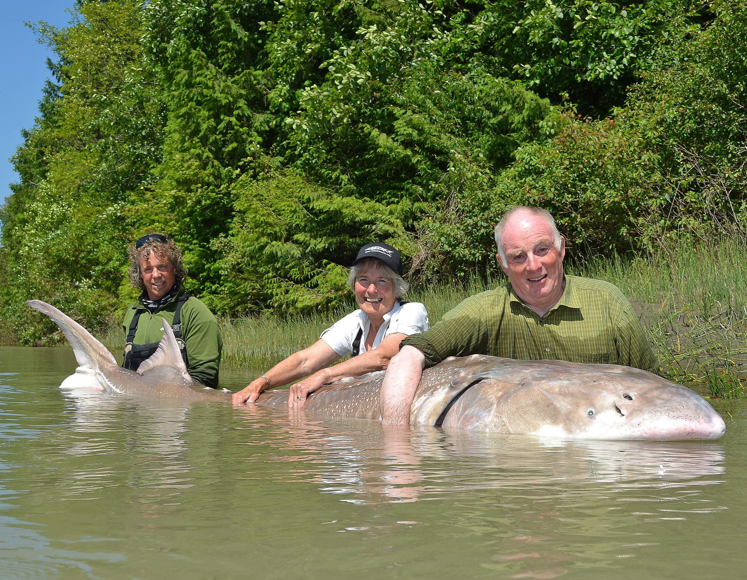 Canadian Guide Puts Brit Angler on Gigantic 1,000lb, 100-Year-Old Sturgeon