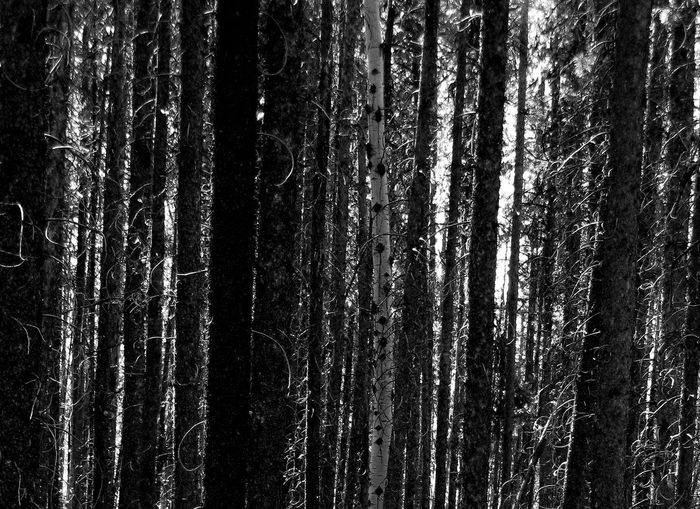 birch, pine, forest, canada
