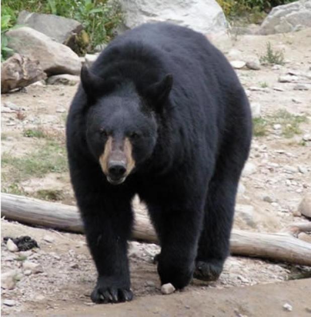 httpswww.fieldandstream.comsitesfieldandstream.comfilesimport2014importBlogPostembedFNblack-bear-hunting.jpg