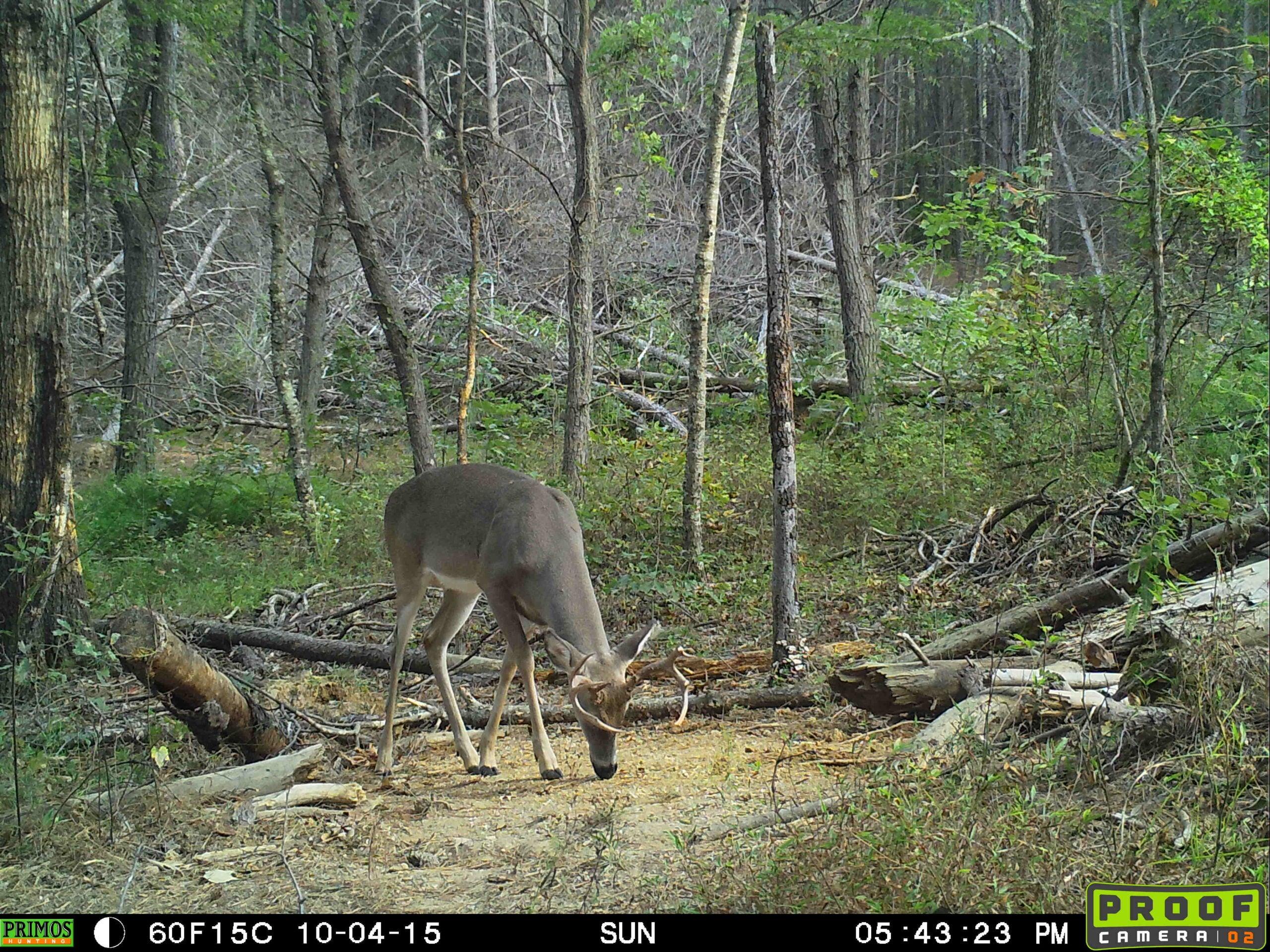 Mid-South Buck in Daylight