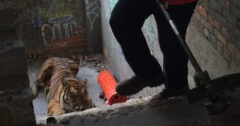 Loose Tiger Caught With a Weed Whacker and Tarp