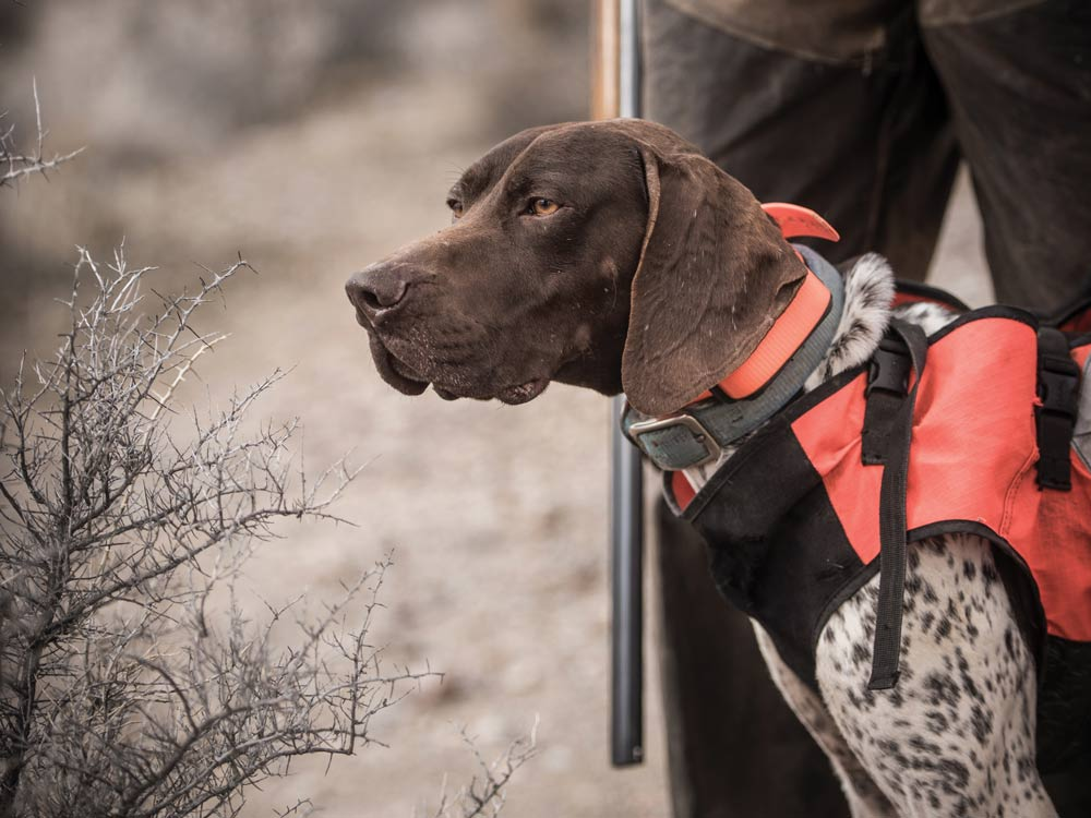 german shorthaired pointer dog in hunting vest