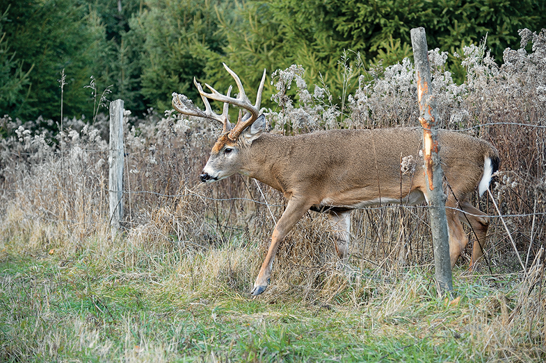 Bowrange Buck
