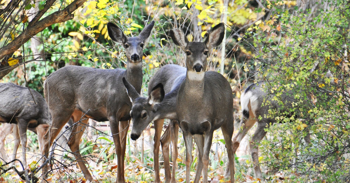 Idaho Town Considers Birth Control to Manage Deer Population